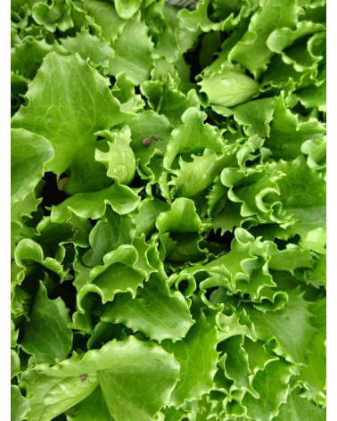 Eisberg-Salat grün