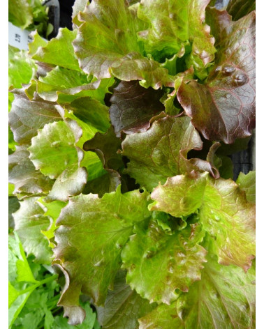Eisberg-Salat rot