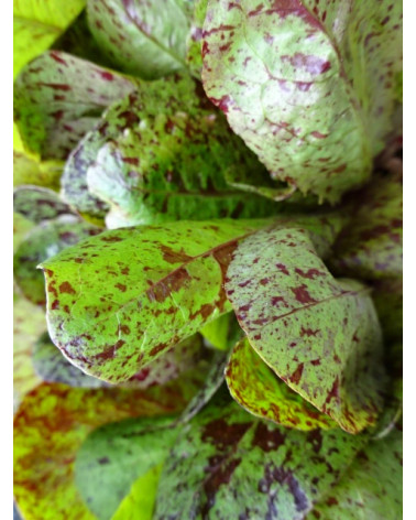 Forellen-Salat