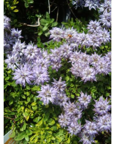 Globularia repens- Niedere Kugelblume