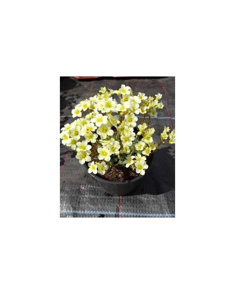 Saxifraga eudoxiana Gold Dust