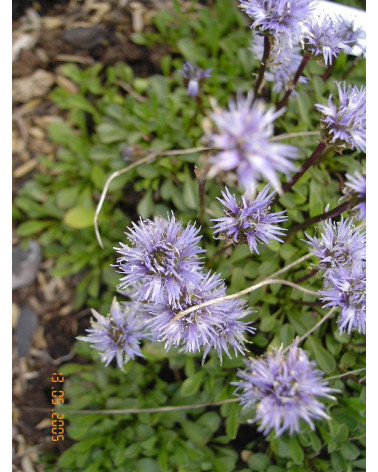 Globularia cordifolia - Kugelblume