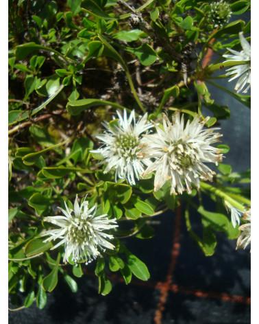 Globularia cordifolia Alba