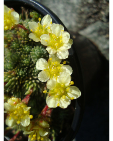 Saxifraga elisabethae Boston Spa, Kabschia-Steinbrech