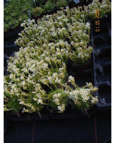Saxifraga apiculata Alba