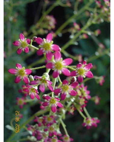 Saxifraga paniculata Linc Foster