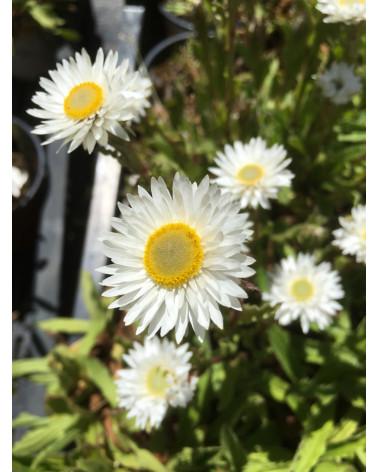 Helichrysum bellum
