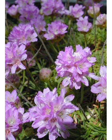 Armeria juniperifolia, Zwerggrasnelke