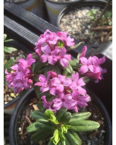 Daphne susannae Cheriton Pflanze
