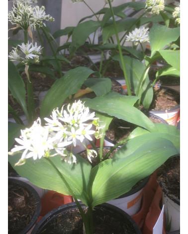 Bärlauch, Allium ursinum Pflanze