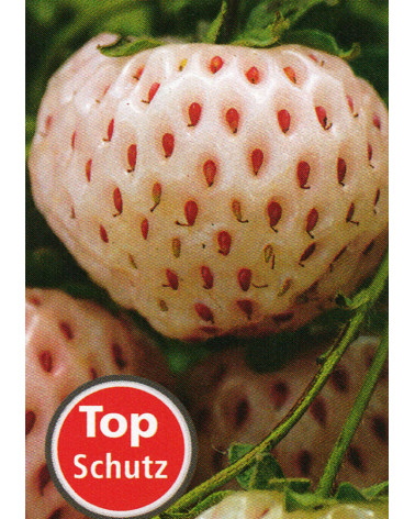 Erdbeere Weisse Ananas Fragaria