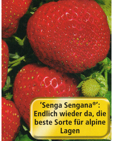 Erdbeere Senga Sengana
