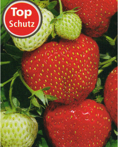 Erdbeere Lambada