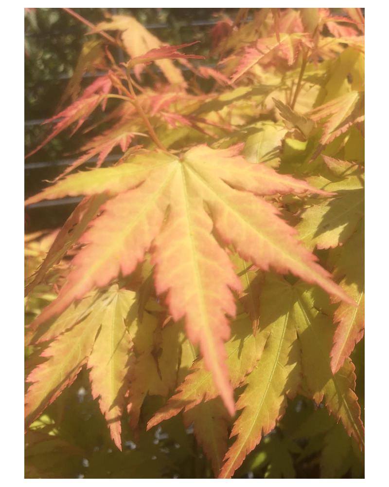 Acer palmatum Orange Dream,