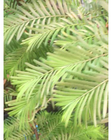 Urwelt-Mammutbaum, Metasequoia glyptostroboides Pflanze