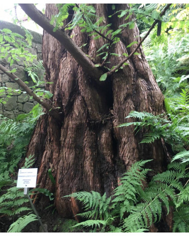 Stamm Urwelt-Mammutbaum, Metasequoia glyptostroboides Pflanze