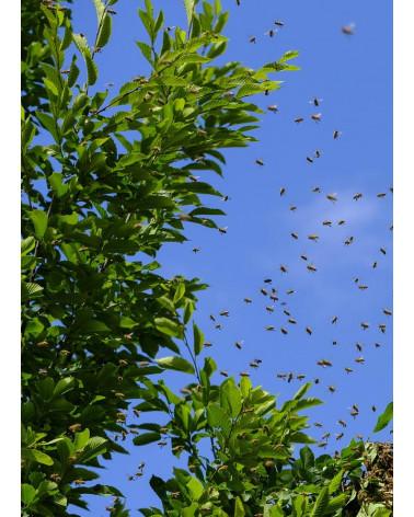 Euodia hupehensis, Bienenbaum