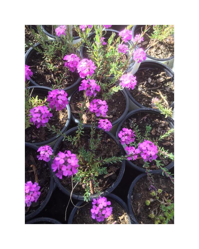 Aethionema armenum Warley Ruber, Steinkresse rosa