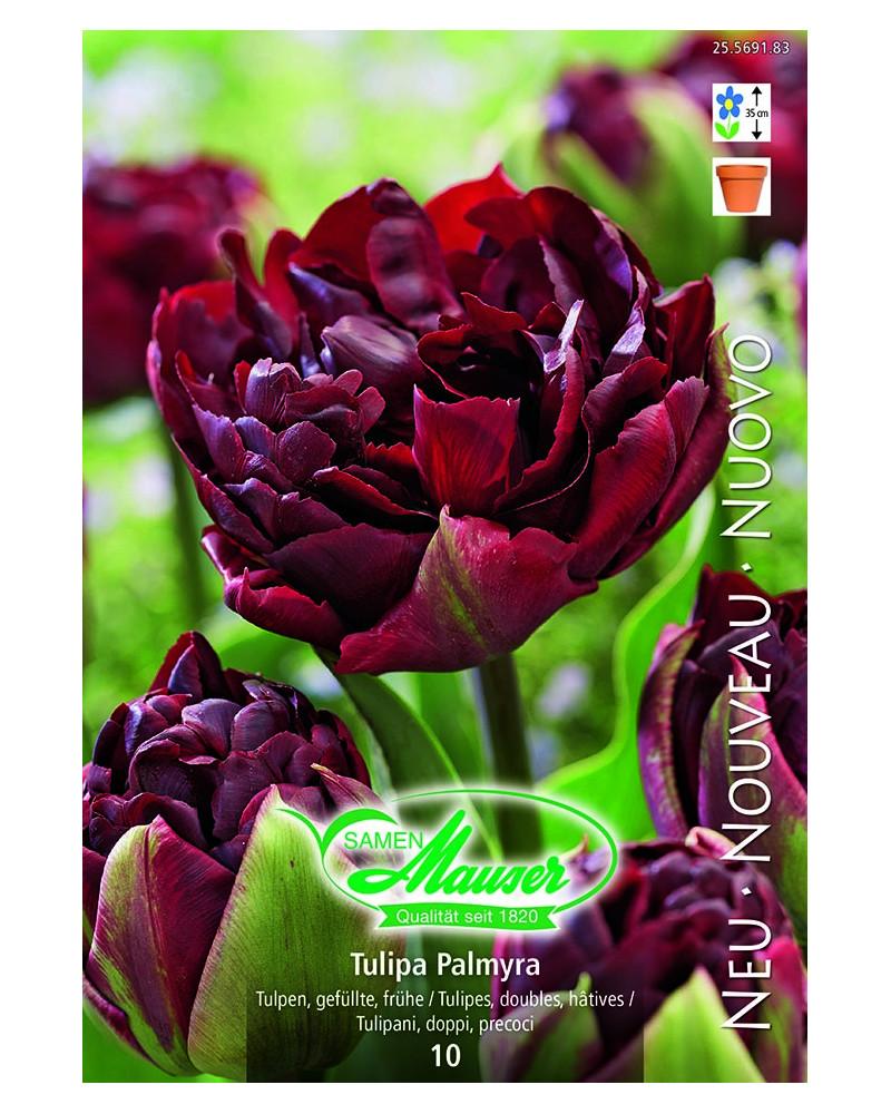 Tulipa Palmyra