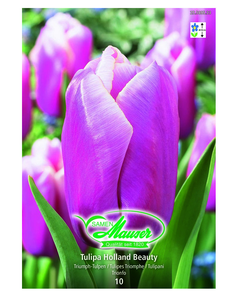 Tulipa Holland Beauty