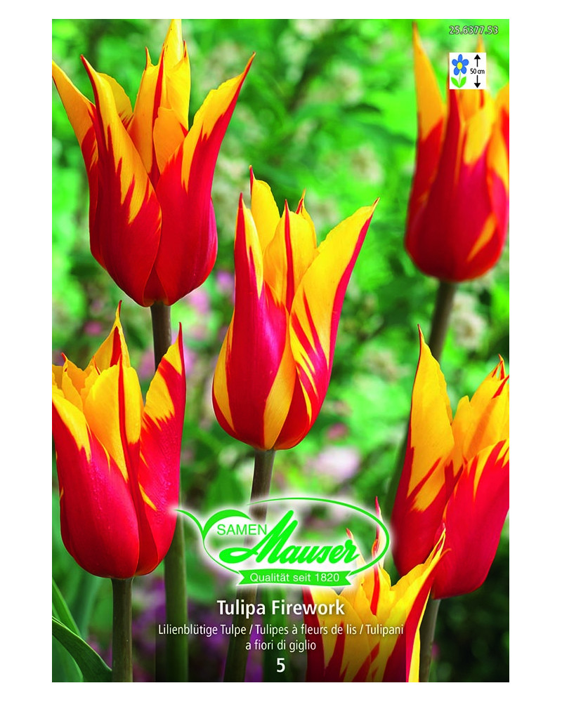 Tulipa Firework