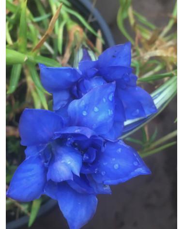 Gefüllter Herbstenzian, Gentiana sino-ornata Eugens Allerbester Pflanze
