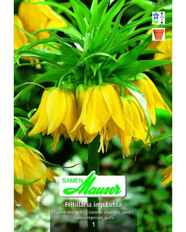Fritillaria - Kaiserkrone, gelb