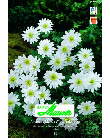 White Splendour Anemone