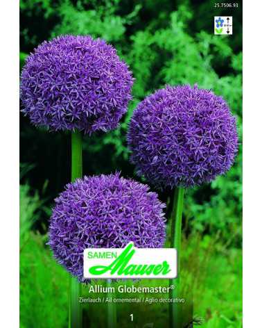 Riesen-Allium  Globemaster