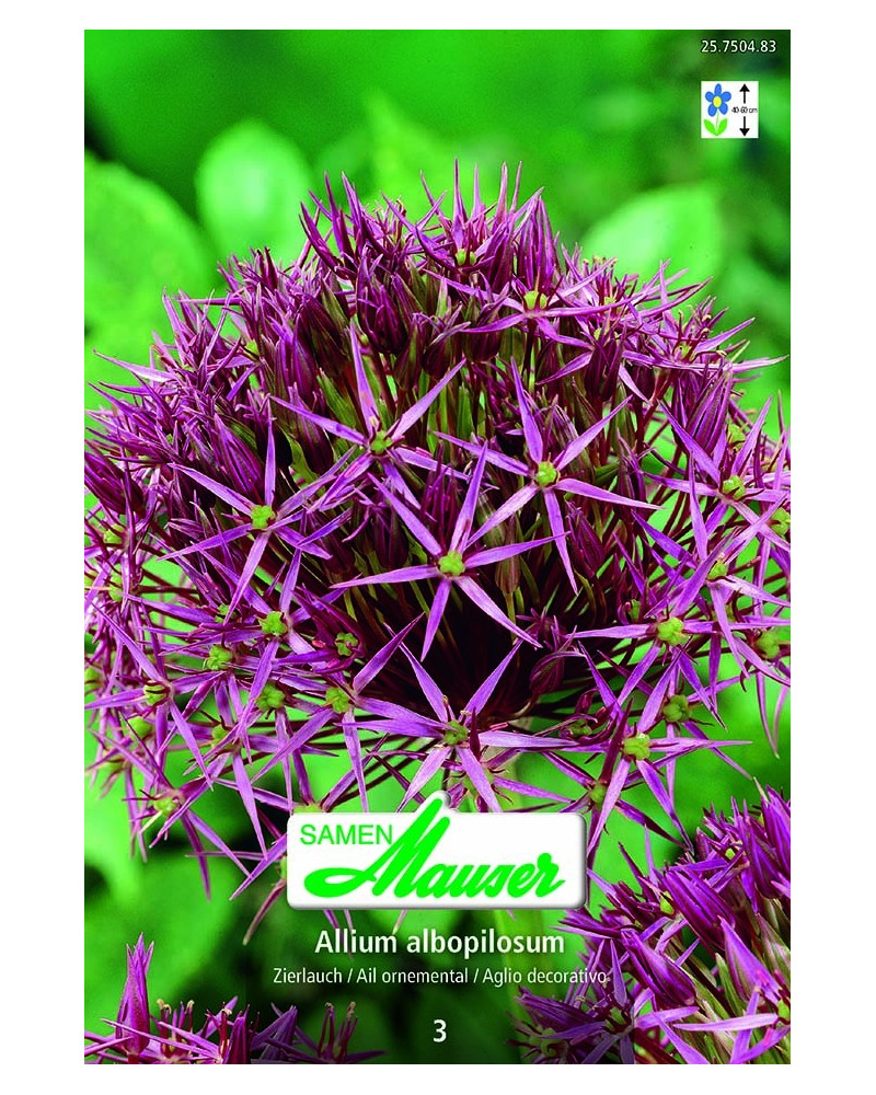 Allium christophii (albopilosum) Zierlauch