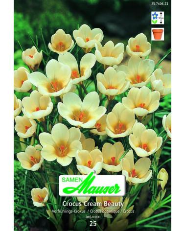 Krokus  chrysanthus Cream Beauty