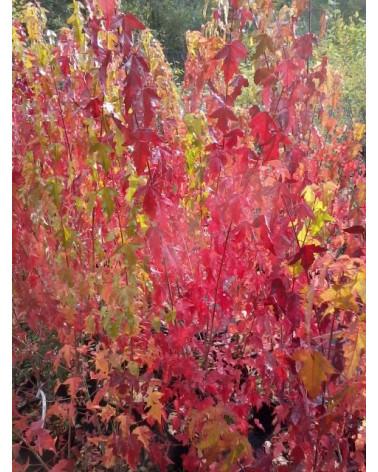 Feuer-Ahorn zur Zeit der Herbstfärbung