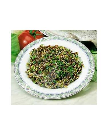 Bio-Keimlinge Broccoletti