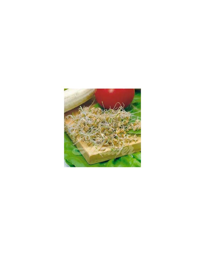 Bio-Keimlinge Weizen