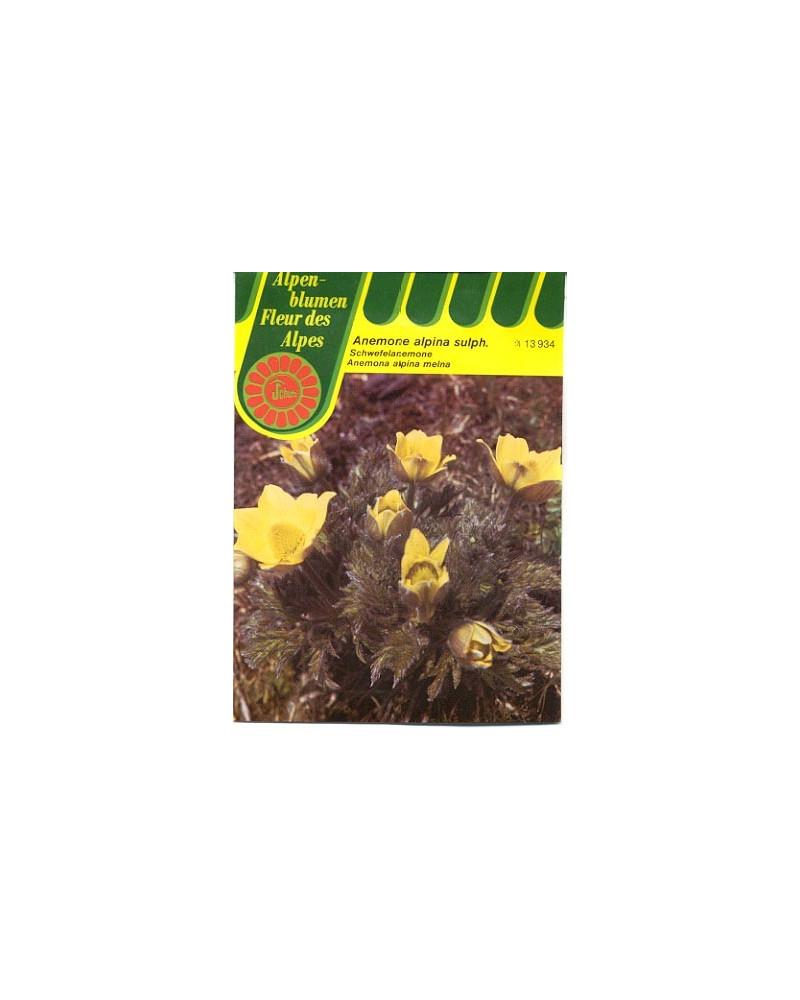 Schwefel-Anemone