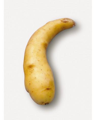 Saatkartoffel Ratte/Virgule