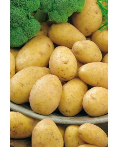 Kartoffel Bintje