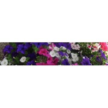 Beet- / Balkonpflanzen