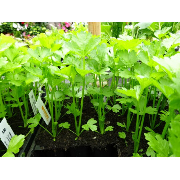 Gemüsepflanzen aus Eigenproduktion