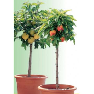 Mini-Obstbäume