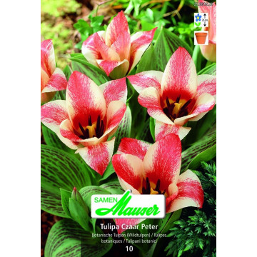 Greigii-Tulpen