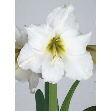 Grossblumige Amaryllis