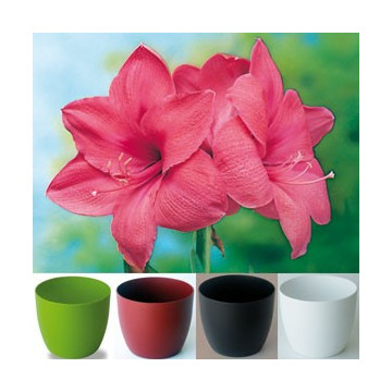 Original Gloria Amaryllis